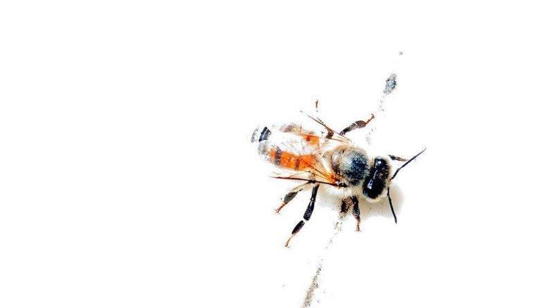 Insetos abelha