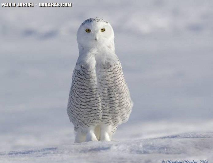 coruja_branca_white owl