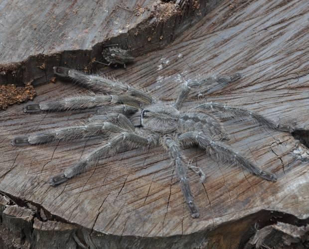 aranha gigante na asia